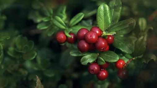 Ягодный бизнес в Украине: как зарабатывать на выращивании клюквы