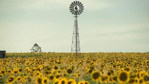 Рекорда не будет: данные урожайности подсолнечника в Украине