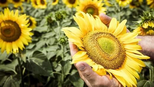 Соняшник-рекордсмен, часник-сміття і фітнес-картопля: найважливіші агроновини тижня